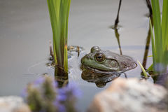 American Bullfrog in a pond in Missouri. Bullfrog with only head sticking out of pond in Missouri stock photography