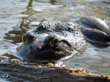 American Bullfrog Profile royalty free stock photography