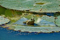 American Bullfrog on a Lily Pad. An American Bullfrog sits on a lily pad floating in the water. These frogs are very vocal and can be heard near most waterways royalty free stock images