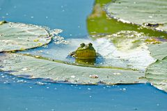 American Bullfrog on a Lily Pad. An American Bullfrog sits on a lily pad floating in the water. These frogs are very vocal and can be heard near most waterways stock photos