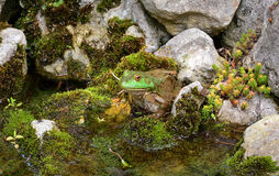 American Bullfrog. An American Bullfrog sits in the rocks showing how well it's camouflaged stock images