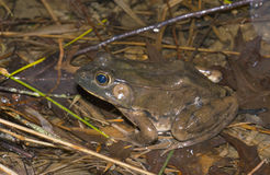 American bullfrog Stock Photo