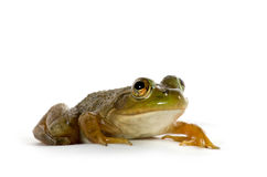 American Bullfrog. A small American bullfrog sitting on white background stock images