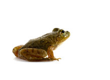 American Bullfrog. A small American bullfrog sitting on white background royalty free stock image