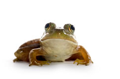 American Bullfrog Stock Photography