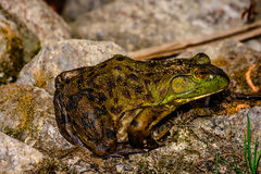 American Bullfrog on some rocks. A photo of an american bullfrog sitting on some rocks Stock Images