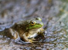American Bullfrog at the Swamp stock photos