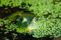 American bullfrog. In the water Stock Photo
