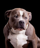 American Bully Dog Breed Royalty Free Stock Photography