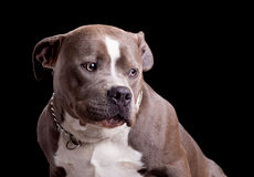 American Bully Dog Breed Royalty Free Stock Photo