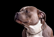 American Bully Dog Breed Stock Photo