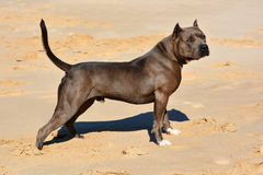 American Bully dog Royalty Free Stock Photo