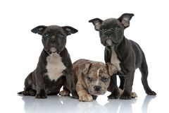 3 American bully dogs laying and standing together. Looking away curious on white background stock photo