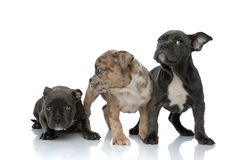 3 American bully dogs laying and standing together. Looking away curious on white background royalty free stock photos