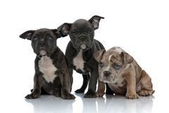 3 American bully dogs laying and standing together. Looking away curious on white background royalty free stock image