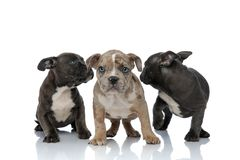 3 American bully dogs laying and standing together looking back. On white background royalty free stock image