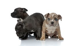 3 American bully dogs laying and standing together. 3 American bully shy dogs laying and standing together with head down on white background stock photos