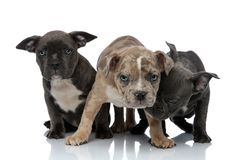 3 American bully dogs laying and standing together sniffing. On white background stock image