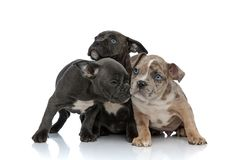 3 American bully dogs laying and standing together sniffing. On white background royalty free stock photography