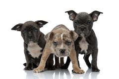 3 American bully dogs sitting and standing together being aggressive. On white background stock photography