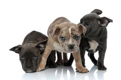 3 American bully dogs sitting and standing together being shy. On white background royalty free stock image