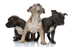 3 American bully dogs sitting and standing together looking away curious. 3 American bully dogs sitting and standing together looking away to sides curious on stock photo