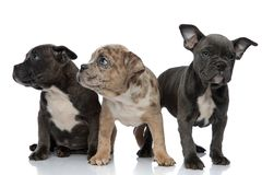 3 American bully dogs sitting and standing together looking away. Curious on white background royalty free stock photography
