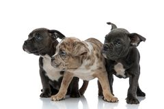 3 American bully dogs sitting and standing together looking curious. 3 American bully dogs sitting and standing together looking away curious on white background royalty free stock photo