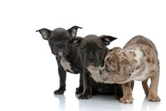 3 American bully dogs sitting and standing together looking curious. On white background royalty free stock photography