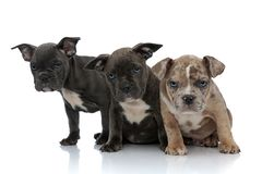 3 American bully dogs sitting together being curious. On white background stock image