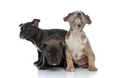 3 American bully dogs sitting together and looking away. Being shy on white background stock photos