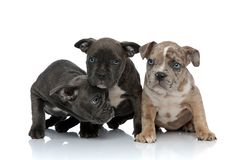 3 American bully dogs sitting together looking with head down. 3 American bully dogs sitting together looking away with head down on white background stock photos