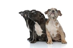 3 American bully dogs sitting together and looking up curious. On white background stock images