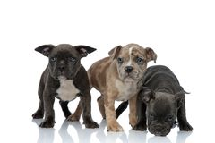 3 American bully dogs standing together and sniffing floor. On white background stock photos