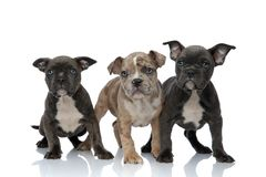 3 American bully dogs standing together. On white background stock photography