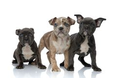3 American bully dogs standing together. On white background stock photo