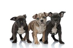 3 American bully dogs standing together. On white background stock image