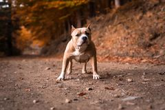American Bully Female Royalty Free Stock Photos