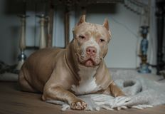 American bully lying on the floor in the room Stock Images
