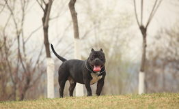 American Bully Royalty Free Stock Image