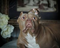 The American bully and the pet rat in the interior Stock Image