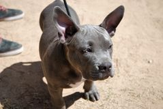 American bully puppy. American Bully is a breed of companion dog, standard size, type moloso, of American origin. It is a relatively young breed. Their breeders stock photos