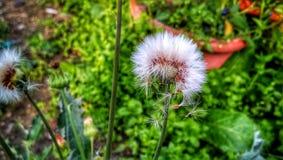 American burnweed Asteraceae stock image
