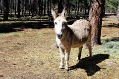 American Burro Royalty Free Stock Photography