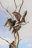 American buzzards Stock Photos