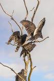 American buzzards Stock Photos