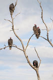American buzzards Royalty Free Stock Photography