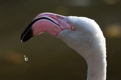 American or Caribbean Flamingo Stock Photos