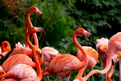 American or Caribbean Flamingo Stock Photography