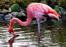 American or Caribbean Flamingo Royalty Free Stock Photography